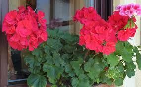 geranien balkon die geranie storchschnabelgewaechse balkon und kuebelpflanzen