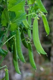 best 25 growing peas ideas on pinterest pea trellis growing