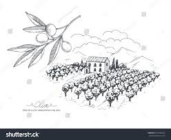 handdrawn olive collection branch olive field stock vector