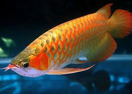 arrowana fish pictures arowana fish wallpaper majestic fish