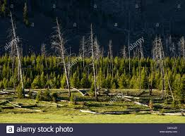 Wildfires Near Montana by Forest Recovery After A Fire In Yellowstone National Park Near Mt