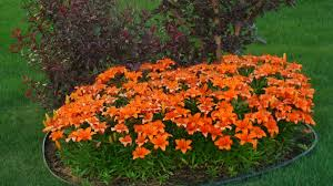 asian lilies file orange asian lilies flower bed 4807635283 jpg wikimedia
