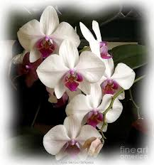 Purple Orchids White And Purple Orchids Photograph By Rose Santuci Sofranko