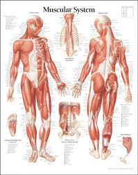 Human Anatomy And Body Systems Muscle Archives Page 20 Of 36 Human Anatomy Chart
