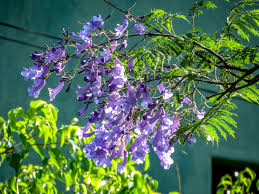 tree with purple flowers oaxaca flowers and trees y knot