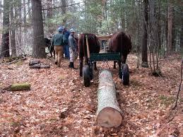 logging with oxen in new hampshire u2013 small farmer u0027s journal