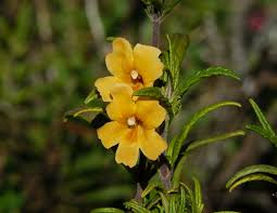 facts about the monkey flower information for growing and care of