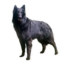 belgian sheepdog newsletter belgian shepherd dog groenendael purina