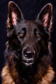 belgian sheepdog national specialty 303 best tervueren images on pinterest belgian shepherd dog