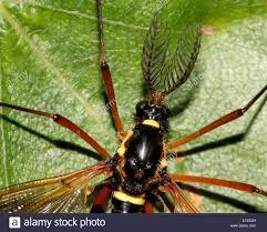 a yellow u0026 black european true crane fly species called