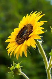 how to collect sunflower seeds for replanting home guides sf gate