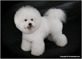 bichon frise for sale philippines bichon frise puppies pictures rescue appearance facts