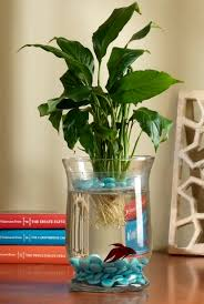 Goldfish In A Vase How To Grow A Lily To Add A Little U0027wow U0027 Factor In Your Fish Bowl