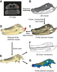 ontogeny of bite force in a validated biomechanical model of the
