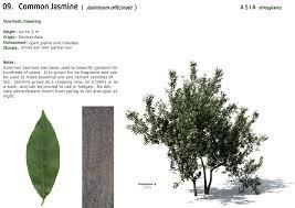 xfrogplants common jasmine xfrog com