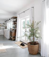 i u0027ve been reading about how to grow olive trees indoors they need