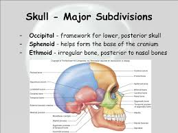 Bones That Form The Cranium Chapter 7 Notes Structure Of The Skeleton Skeletal Tissue Forms