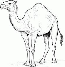 free coloring camel pictures to colour dominatepreforeclosures com