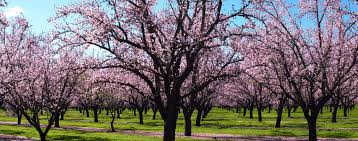 the meaning and symbolism of the word almond tree