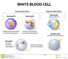 types of mugs types of white blood cells infographics stock vector image