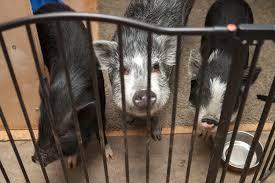 potbelly pig information hog haven farm