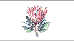 Protea Flower Botanical Illustration Protea Flower Watercolor Speed Painting