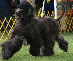 afghan hound national dog show jolie afghan hounds rush
