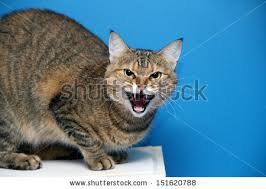 Mad Kitty Meme - angry cat stock images royalty free images vectors shutterstock