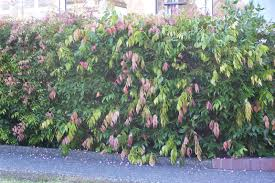 Garden Hedges Types Small Tree For Entrance Garden Or Street Hedge Weeping Lilly