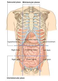 Loin Human Anatomy Anatomical Lines Of The Body Anatomical Lines Of The Body Human