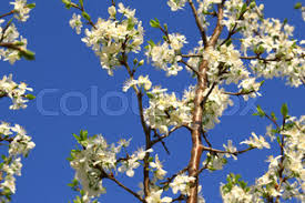 branch of a blossoming tree with beautiful white flowers stock