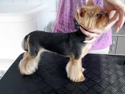 before and after yorkshire terriers short hair cut yorkie haircut styles medium hair styles ideas 43020