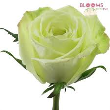 green roses green 40 cm wholesale blooms by the box