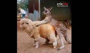 Alpaca Sheep Meme - shane warne shares picture of a kangaroo screwing a sheep