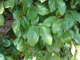 creeping fig climbing fig ficus pumila evergreen woody climber