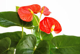 anthurium flower plant profiles anthurium andraeanum flamingo flower stamen stem