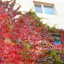 100 seeds boston ivy vine virginia creeper parthenocissus