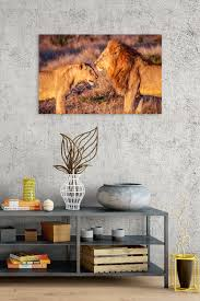 lions in love rogue aurora photography lion canvas art print for safari home decor