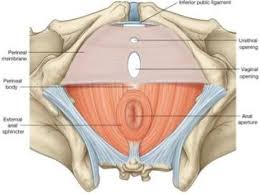 Male Anatomy Perineum Anatomy Of Male And Female Pelvic Viscera Studyblue