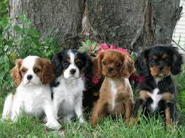 australian shepherd spaniel mix cavalier king charles spaniel small dog breed with pictures dog