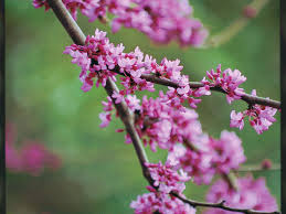 arkansas native plants the complete guide to redbuds southern living