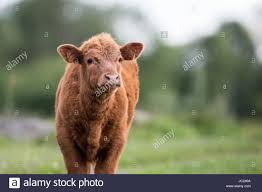 highland cow calf young highland cattle of scotland stock photo