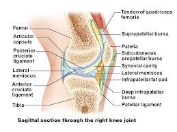 Lateral Patellar Ligament Articular Cartilage Compact Bone Proximal Epiphysis Spongy Bone