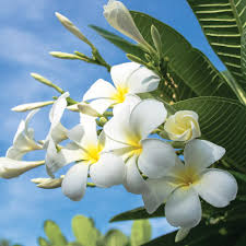 plumeria flowers plumeria frangipani planting guide easy to grow bulbs