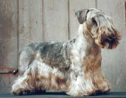 ergebnis für http www 13 best ceský teriér images on terriers and
