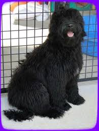how to cut a goldendoodles hair southern charm labradoodles american and australian labradoodle