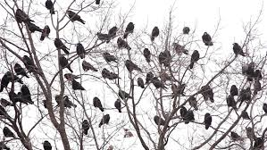 crows on tree stock footage 383251