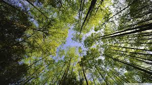 tall trees forest hd desktop wallpaper widescreen high