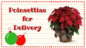 holiday christmas poinsettia plants for delivery youtube