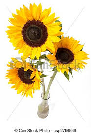 Vase Of Sunflowers Stock Image Of Sunflowers Bouquet Three Yellow Sunflowers In